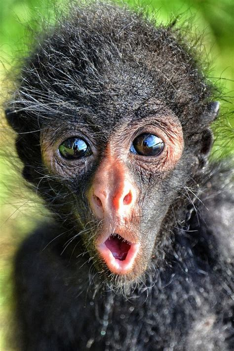 Cutest Spider Monkey With Cute Expression | LuvBat