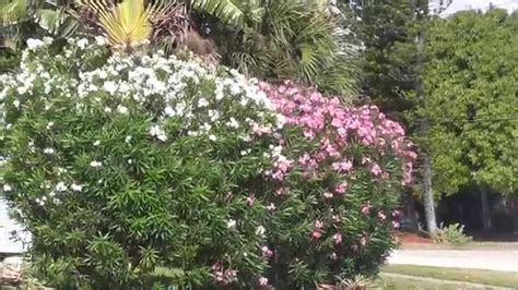 White, Pink and Red Oleander Comparison - Which One Should
