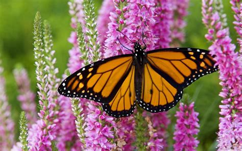 Monarch Butterfly Eastern North American Population Of