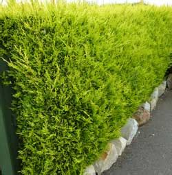 Which Hedge? | Hedging Plants Explained | Evergreenhedging