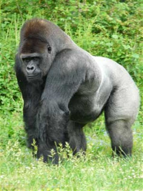Gorilla ~ Animals Images