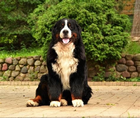 della Torre d'Ovarda Bernese Mountain Dogs