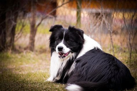Slaven - LeClway Border Collie Kennel