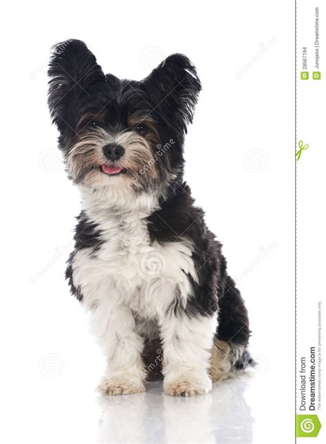 Biewer Yorkshire Terrier Stock Images - Image: 28567194