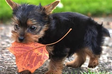 11 Things Only Yorkshire Terrier Owners Understand